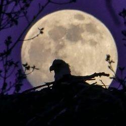 Kovar Photography Eagle Moon